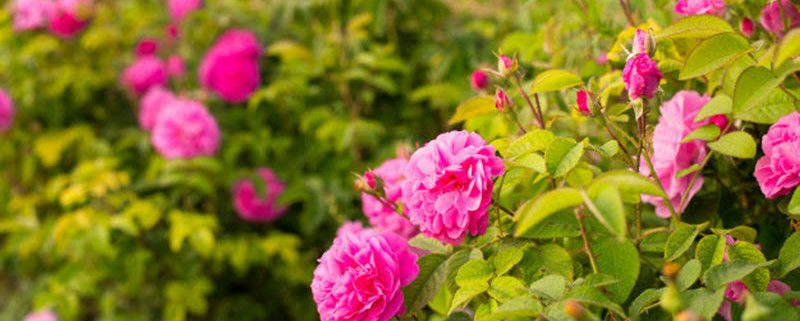 Differences between organic roses and other roses