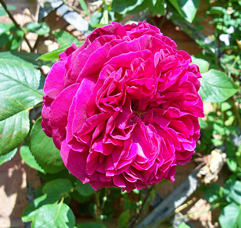 Dried Rose Petals Wholesale, Dried Rose Petals Wholesale price, certificate natural organic rose buds,buy bulk rose petals, buy bulk rose petals wholesale, buy rose petals, wholesale buy rose petals, rose buds, rose petals, dried rose petals, dried rose, dried rose buds, damask rose, rosa damascena, rose flower petals,wholesale rose petals