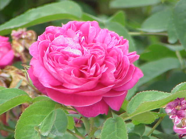 mohammadi flower appearance, bush, pink rose