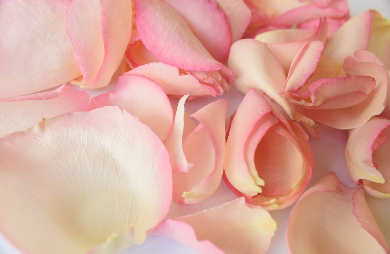 rose petals bulk wholesale