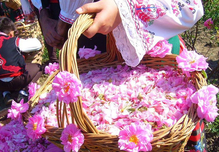 How to make rosewater, bulk rose petals,wholesale rose petals,dried rose buds,wholesale buy rose petals, rose buds, rose petals, dried rose petals, dried rose, dried rose buds, damask rose, rosa damascena, rose flower petals,wholesale rose petals